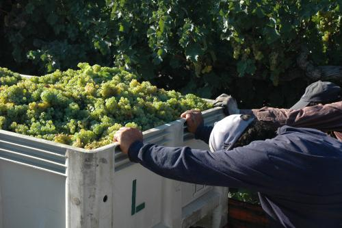 A picture of the hard working vineyard crew at harvest