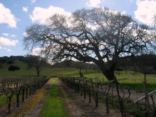 A tree in the vineyard