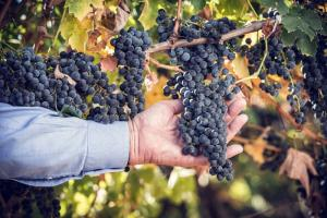 Louis Lucas hand with Lucas & Lewellen grapes at harvest