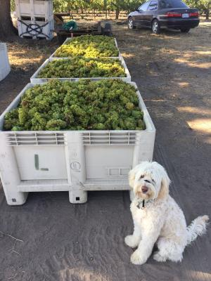 An image of the beloved dog of winemaker Megan McGrath Gates at harvest time with grape bin