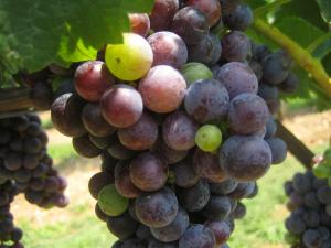 A photo of grapes at veraison